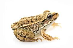 Frosch lokalisiert auf einem weißen Hintergrund foto