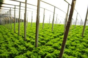 Gemüse in Gewächshäusern foto