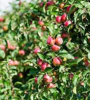 Zweig mit roten Äpfeln foto