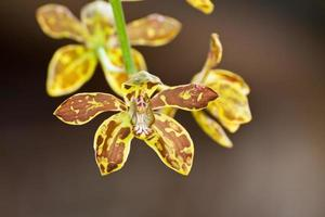 schöne Orchidee mit ..grammatophyllum scriptum foto