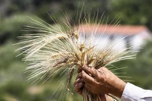 Weizenohren in Bauernhänden schließen oben auf Feldhintergrund foto