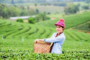 Asien schöne Frau, die Teeblätter in der Plantage pflückt foto