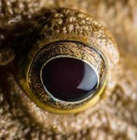 Nahaufnahme Auge des gelben Frosches