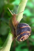 gemeine Schnecke, die auf Pflanze im Garten kriecht foto