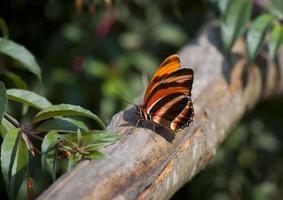 tropischer Schmetterling foto