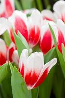 rot-weiße Tulpenblüten foto