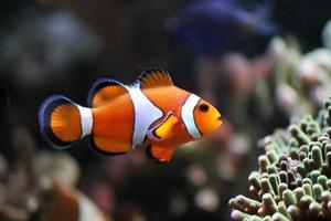 Clownfisch Anemonenfisch foto