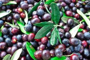 Oliven sammeln.