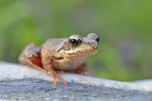 der gemeine Frosch, rana temporaria foto