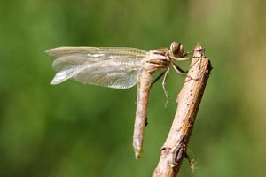 Libelle entspannend foto