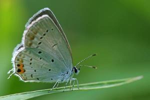 blaugrauer Schmetterling auf dem Gras foto