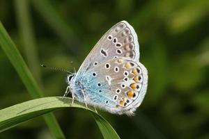 gewöhnlicher blauer Schmetterling foto