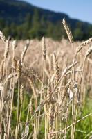 Weizenfelder foto