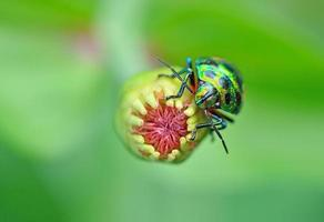 Käfer (chrysocoris stollii) in der Natur foto