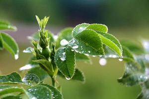 Makro Rosenstrauch mit Regentropfen