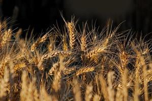 Weizen auf dem Feld foto