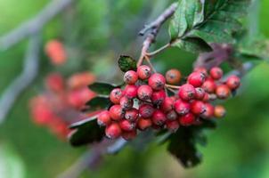 sorbus hybrida (schwedischer Dienstbaum)