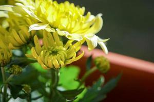 Blütenchrysantheme foto