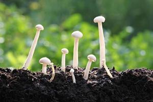 weißer Pilz viel frühes Wachstum. foto