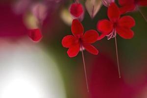 rote Blüten 2 foto