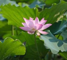 blühende Lotusblume