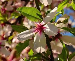 strahlende Mandelblüte zwischen grünen Blättern foto