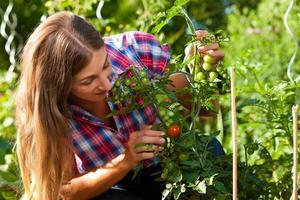 Gartenarbeit im Sommer - Frau, die Tomaten erntet