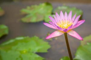 rosa Seerose foto