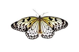 Schmetterling Idee Leukone foto