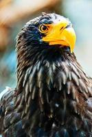 Portrait Steller (Pazifik) Adler im Nowosibirsk Zoo foto