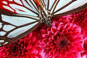 schöner brauner und schwarzer Schmetterling auf einem Chrisanthamum foto