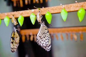 neue Schmetterlinge auf ihren Puppen