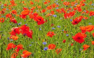 rote Mohnblumen und blauer Kornblumenfrühlingshintergrund