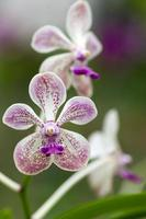 weiße und rosa Orchideenblume foto