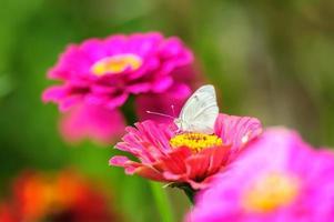 weißer Schmetterling mit Dahlienblüten