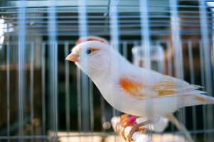 Kanarienvogel foto