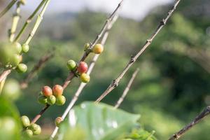 Kaffeebohnen mit roten Beeren foto