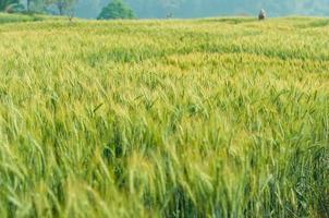 grüne Gerste im Bauernhof mit Naturlicht foto