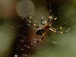 braune Spinne im Netz foto