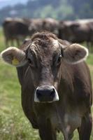 Porträt einer ertragreichen Kuh foto