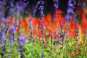 Lavendel & Schmetterling