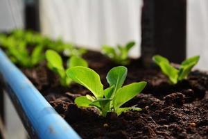 grün cos hydroponics gemüse. foto