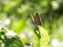 glänzender Schmetterling auf dem Feld # 5 foto