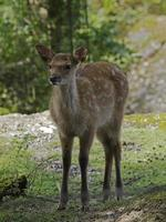 jugendlicher gefleckter Hirsch, sikahirschkitz (Cervus nippon)