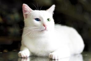 schöne van Katze foto