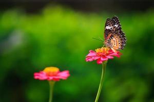 Leopard Florfliege Schmetterling Fütterung auf Zinnie Blume foto
