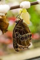 Schmetterling schlüpft aus der Puppe foto