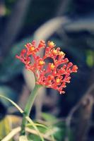 australische Flaschenpflanze, physische Nuss, Buddha-Bauchpflanze, Jatroph foto