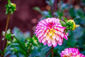 schöne Dahlie im Garten