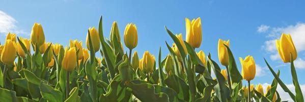 Tulpen auf einem Feld im Frühjahr foto